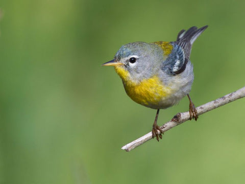 northern-parula-perched