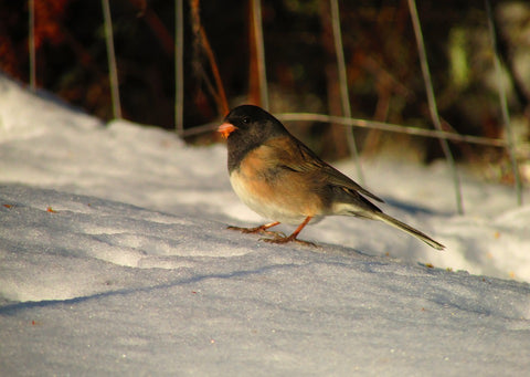 oregon-junco
