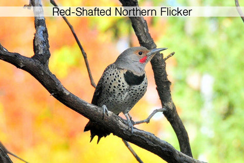 red-shafted-northern-flicker