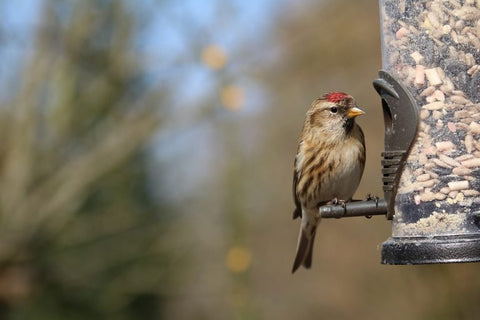 redpoll-at-tube-feeder-winter