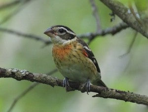 female-rose-breasted-grosbeak