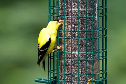 SQUIRREL-BUSTER-FINCH-FEEDER