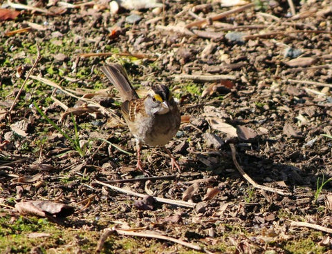white-throated-sparrow-on-the-ground