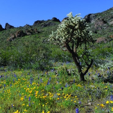 Spring in the Sonoran Desert