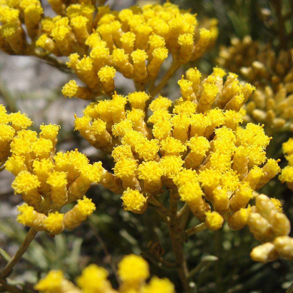 Miraculous, Healing Helichrysum (Immortelle) Essential Oil