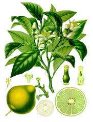 Bergamot Illustration
