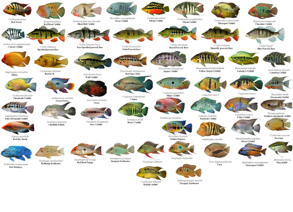 X50 Assorted South American Cichlids Sml Med Fresh
