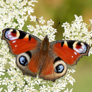 butterfly in spring - wildlife blog