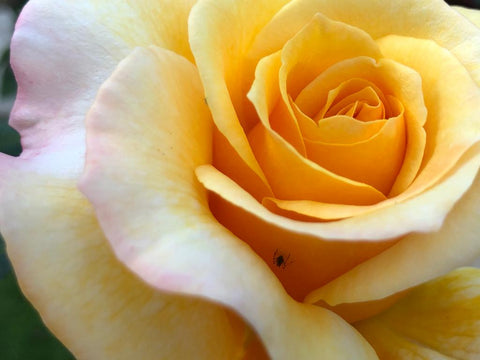 colourful yellow rose