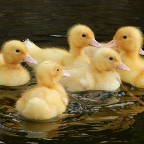 Cherry Valley Ducklings