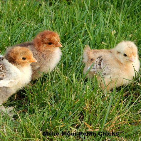 Millie Fluer Pekin Chicks