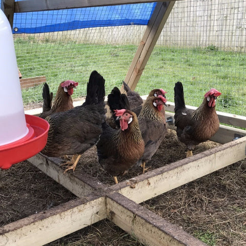 Partridge Leghorn Growers (pure bred )