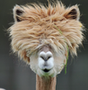 alpaca with funny hair