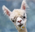 11 things you didn't know about alpacas