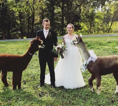 alpacas in the wedding