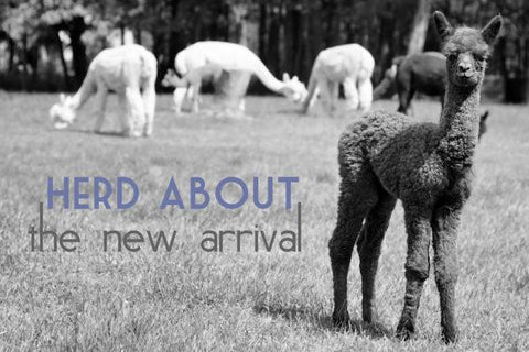 Alpaca Greeting Card - Herd About the New Arrival - Purely Alpaca