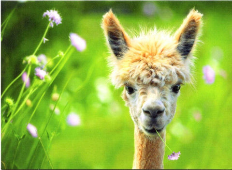 Avanti Alpaca Greeting Card - Meadow Gift Card avanti BlankInside