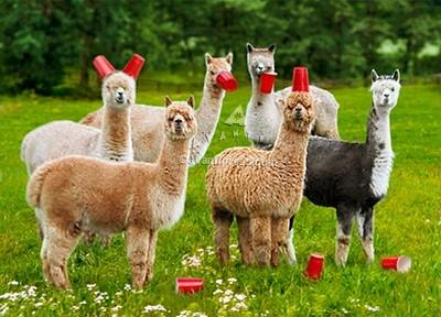 Avanti Alpaca Greeting Card - Six-Paca - Purely Alpaca