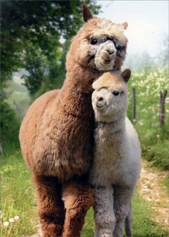 Avanti Alpaca Greeting Card - Alpaca Love, Mother's Day