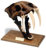 Saber Tooth Cat Prehistoric Skull Replica with Stand 12H, Assorted Colors
