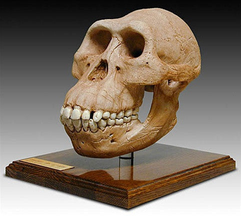 Museumize:Australopithicus Afarensis Cranium Skull with Stand from Hominid Series 7H