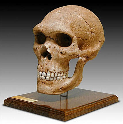 Museumize:Neandertal Skull with Stand from Hominid Series 9H - 5116