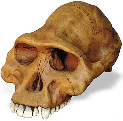 Prehistoric Australopithicus Afarensis Cranium Skull from Hominid Series 12L - 5110Z - Museumize