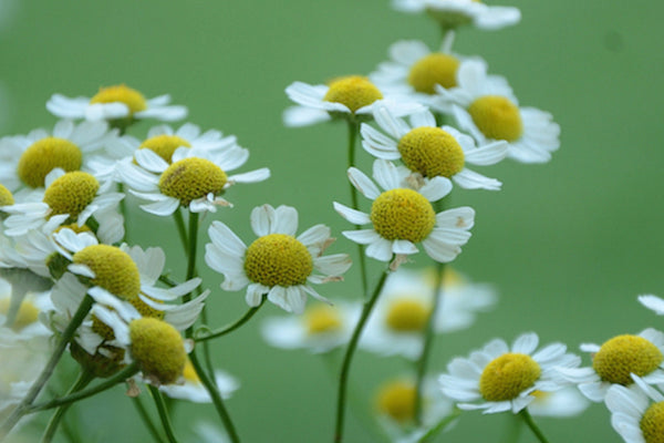 Chamomile for spring.