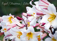 New Zealand Christmas Lilies: available for delivery in Wellington