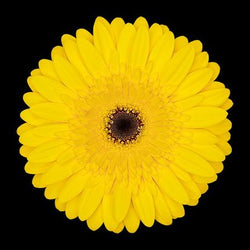 Gerbera flowers Wellington city region, porirua florist, lower hutt florist, wellington florist online, same day flower delivery wellington, flower shop florist wellington nz