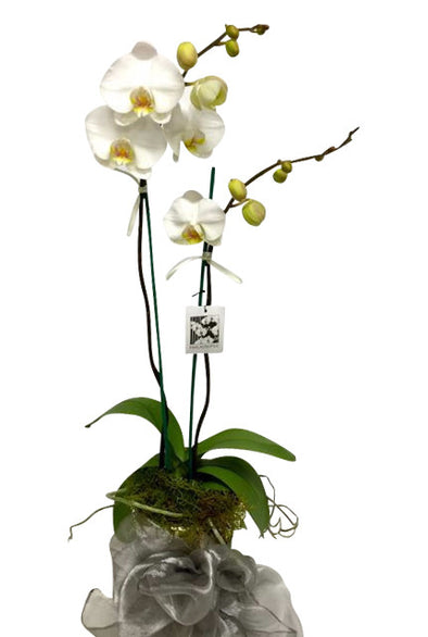 Phalaenopsis Orchid Plants - Flower Shop Florist Wellington