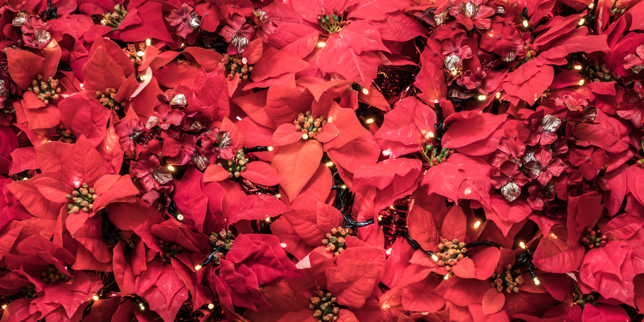 The History and Legend of the Poinsettia