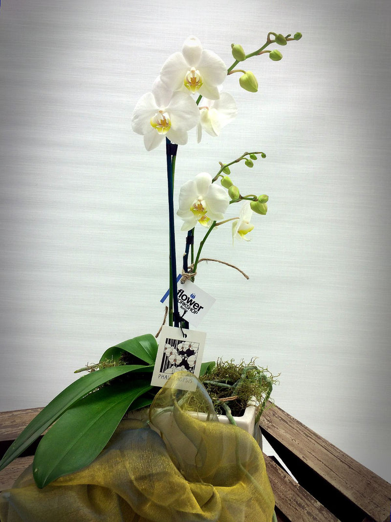 Send Orchid plants in Wellington
