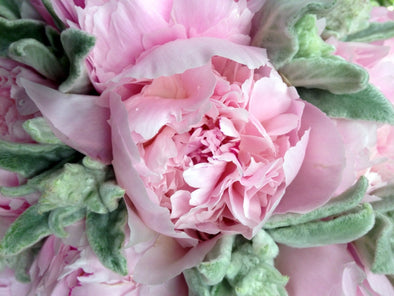 Peony Flowers online November to December - Wellington Florists