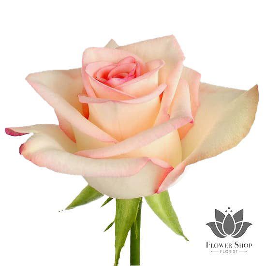 Faith bi colour cream pink Roses