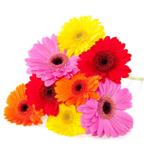 Bright Mix Gerbera Flowers - Wellington florists - Gerbera Flowers Wellington NZ - Flower Shop Florist Wellington NZ