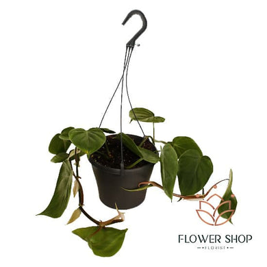 Heart leaf Philodendron hanging plants indoor and outdoor plants delivery - florist in wellington NZ
