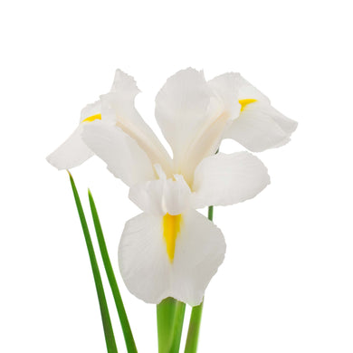 Iris white flowers Wellington florists New Zealand flower delivery flower shop florist wellington