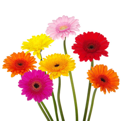 Bright mini gerbera bouquet flower delivery by Wellington florists, Flower Shop Florist Wellington New Zealand