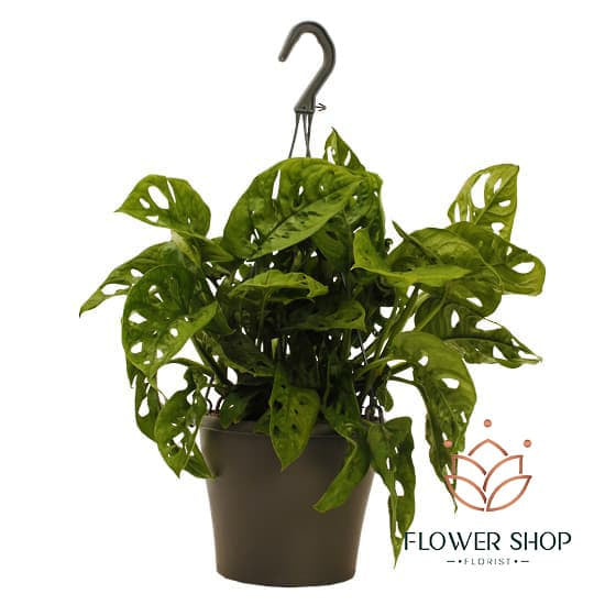 Monstera Obliqua Monkey Mask hanging plants in Wellington online shop NZ
