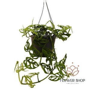 Monstera monkey mask swiss cheese vine  plants indoor and outdoor - buy hanging plants online - delivery Wellington NZ