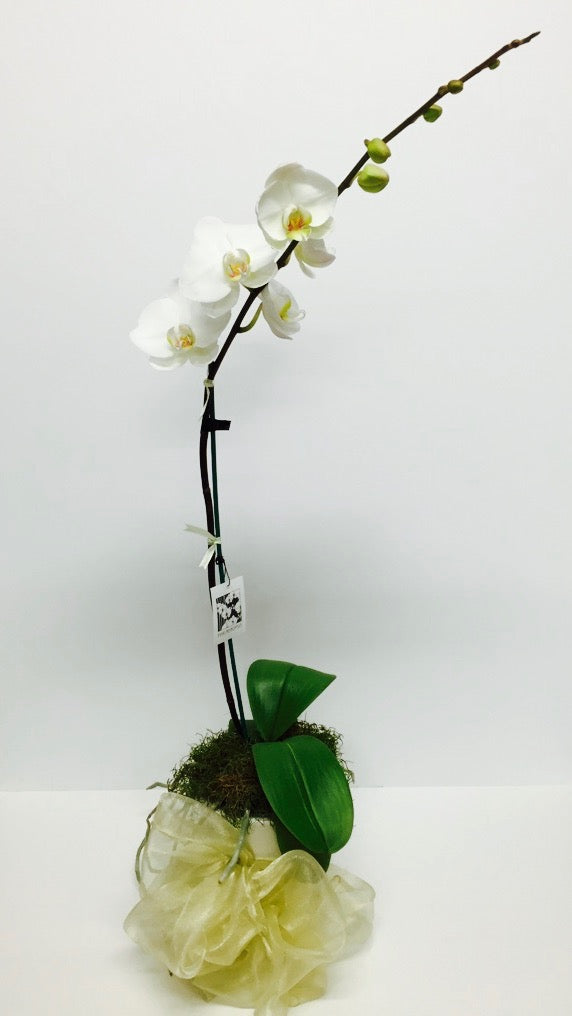 Send an Orchid Plant in Wellington New Zealand - Phalaenopsis Moth Flowers Plant - Flower Shop Florist Wellington NZ