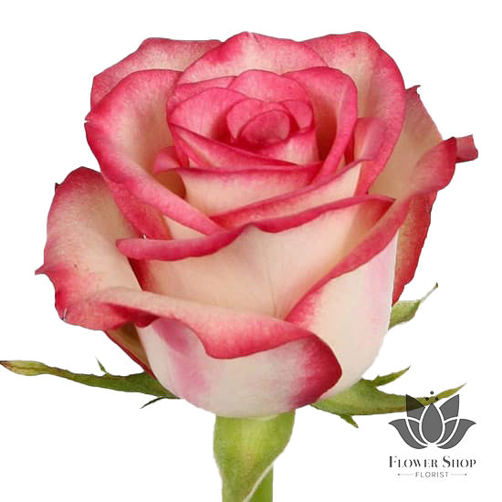 Paloma Cream and Hot Pink roses Wellington New Zealand - Flower Shop Florist Wellington NZ  Edit alt text
