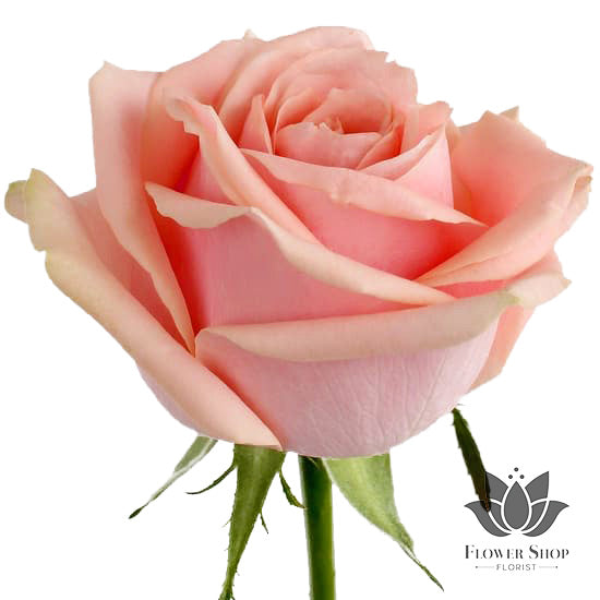 Soft pink pearl avalanche roses bouquet Flower Shop Florist Wellington NZ flowers delivery