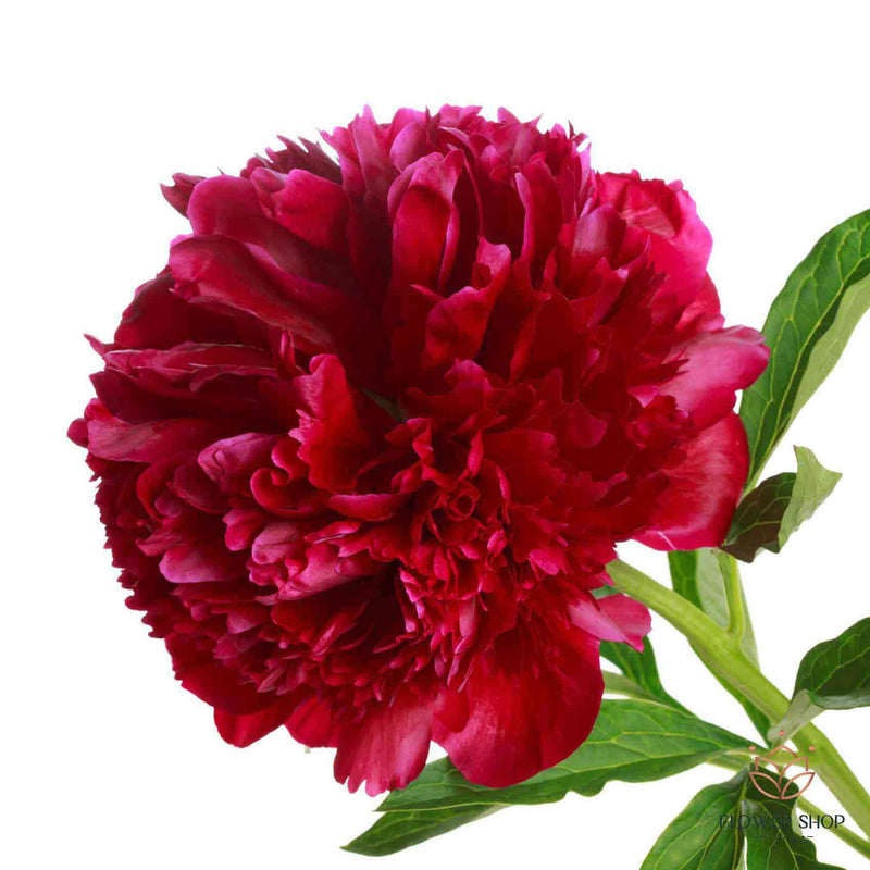 Peonies Red Charm Peony Bouquet Flowers - Peony Florists Wellington NZ - Flower Shop Florist Wellington NZ