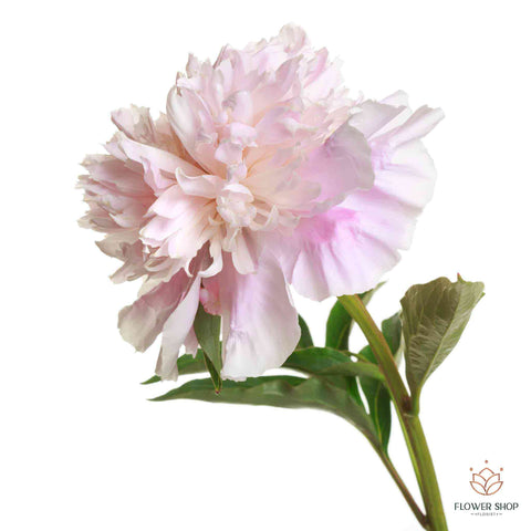 Peony soft pink flowers by Wellington florists New Zealand flower delivery