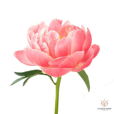 Peony Coral flowers Wellington florists New Zealand flower delivery