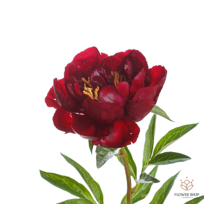 Medium size open red charm peony Miramar Kilbirnie Wellington Florists online NZ flower delivery