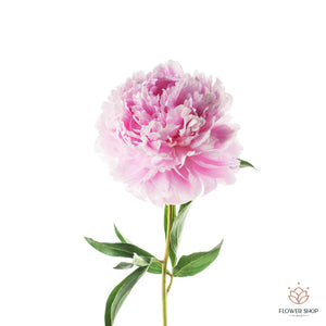 Peony peonies blush pink wellington florists New Zealand florist flower delivery online