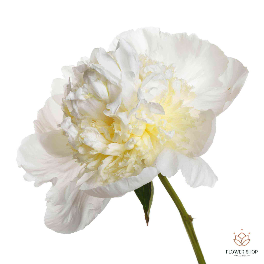 Double white peony flowers in Wellington New Zealand florists